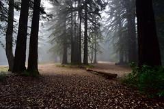 Voiceless|Skyline Blvd, San Mateo, California (miltonsun) Tags: foginbayarea fogevent fog skylineblvd sanmateo california lowfog foginsf bayarea trees leaves autumnleaves landscape outdoor nature