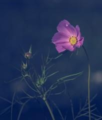 chaud au coeur / Feel good (cébé céline) Tags: nikond7200 cosmos fleur bouton branches dof septembre été montréal jardinage flower button september summer montreal gardening