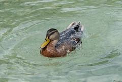 splash... (vreny_) Tags: ente duck wasser water nature natur outdoor austria attersee see fuji xt2 blue swim schwimmen plantschen tier animal animaux splash