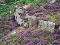 Baslow, Derbyshire (Oxfordshire Churches) Tags: baslow baslowedge eaglestoneflat derbyshire england uk unitedkingdom ©johnward panasonic lumixgh3 mft microfourthirds micro43 heather heatherinbloom peakdistrict thepeakdistrict peakdistrictnationalpark nationalparks explore explored inexplore