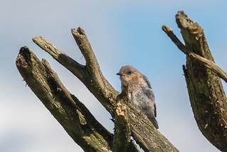 Merlebleu de l'Est / Eastern bluebird