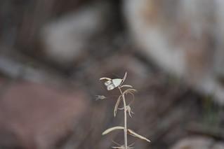 Mariposilla minúscula