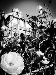 Where the wild roses grow (doubleshotblog) Tags: abandoned sloppy neglected blackandwhite rose doubleshotblog iphone7 iphonephotography iphoneography streethunt nsw sydney australia lewisham haunted creepy oldhouse wherethewildrosesgrow