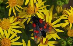 Six-spot Burnet moth - Meadows Middlebere Dorset (2) (ailognom2005) Tags: sixspotburnetmoth meadowsmiddleberedorset moths butterfliesmothsandcaterpillars wildlife dorsetwildlife macro
