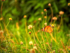 (V.i.c.k.y) Tags: butterfly flower perched nectar colourful wings flap green grass shrubs