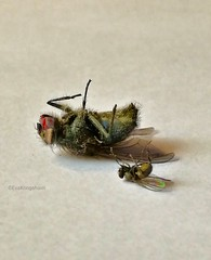 They fell for me (evakongshavn) Tags: beautyinnature insects insect insekter flue fly flies animal animalportrait animals closeup macro macroshot makro colors colours naturelovers natur nature naturnature naturaleza naturbilder naturphotography naturephotography macromondays