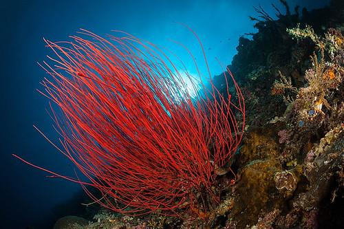 CelebesDivers - underwater 18 (StrauchRutengorgonie)