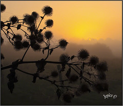 Burdock Burrs. (Picture post.) Tags: burdock sunrise mist nature green silhouette burr landscape paysage brume cobwebs dew trees arbre standing