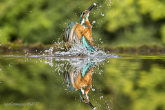 Another reflection (Ross Forsyth - tigerfastimagery) Tags: kingfisher kf wild nature free wildlife wildlifephotography fantasticwildlife animalplanet scotland dumfriesandgalloway spash diving minnows scottishphotographyhides alanmcfadyen fudgey reflection reflections mirror