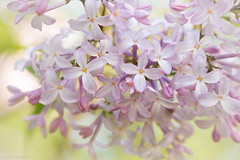 Pastel shades (Anthony P.26) Tags: category eskisehir flickrpost flora places turkey yunusemrecampus lilac tree blossom vignette whitevignette pastelcolours pastels closefocus closeup narrowdepthoffield depthoffield macro sigma105mmmacro macrodreams canon70d canon