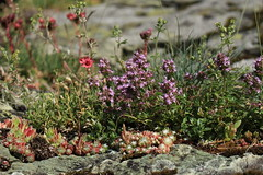 sur un rocher (bulbocode909) Tags: valais suisse arolla valdhérens montagnes nature fleurs rochers vert rouge