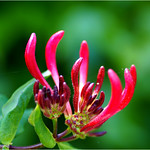 Honeysuckle thumbnail