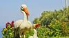 #photography #canon700d #summer #sun #yaz #güneş #scuplture #art #heykel #sanat #leylek #stork #bird #kuş #snapseed (oppeslife) Tags: snapseed photography stork leylek bird summer yaz kuş scuplture canon700d güneş art sun sanat heykel