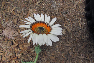 Cape Daisy lazing on a lax stem.