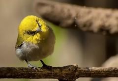 Am I Clear...! (stunningphotosofpk) Tags: bnsbirds nutsaboutbirds allmightybirds margalla birdsbirdsbirds birdwatching perch avian ornithology