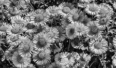 (Abel AP) Tags: flowers daisies plants floweringplants floral fremont california usa gardenflowers nature blackandwhite bw monochrome abelalcantarphotography blooming summer flora flowerpedals
