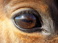 Can you see me? Eye see you! (SarahMartin06) Tags: equine equinephotography equines horses ponies chestnut riding eyeshot throughtheeye photography photographer