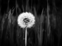 Lonely in white (LukaBoban) Tags: flower bw dandelion nature close monochrome leaf petal canon powershot g15