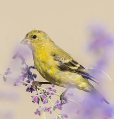 Morning Dinning. (Omygodtom) Tags: usgs yellow lavender black bokeh bird goldfinch wildlife wild outside nikkor nature nikon natural d7100 nikon70300mmvrlens urbunnature digital 7dwf colorful