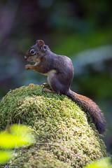 red squirrel Vancouver island (lee barlow) Tags: nikon200500 vancouverisland americanredsquirrel ngc rodent britishcolumbia mammalsofbritishcolumbia tamiasciurushudsonicus mammalsofnorthamerica leebarlow mammal nikon d7200 canada