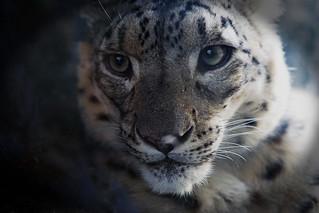 Schneeleopard / snow leopard