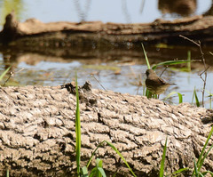 wood warbler (turn off your computer and go outside) Tags: 2016 birdsofminnesotaandwisconsinpage292 gooseislandcountypark may northernwaterthrush seirusnoveboracensis wi westernwisconsin bird clearday critter fallentree identified log nature outdoors riverbank spring sunning water woodwarbler