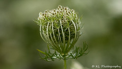 Queen Anne's Lace (jklaroche) Tags: queenanneslace tansy wildflowers