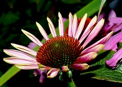 Echinacea (Ken Little - New Hampshire) Tags: nature natural 603 nh newhampshire newengland new hampshire england purple echinacea waterville valley