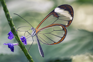 Glass Wing - Explored 03.08.17