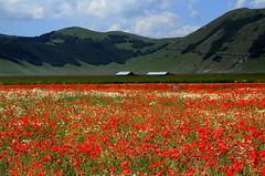 Poppies (annalisabianchetti) Tags: poppies papaveri castellucciodinorcia paesaggio landscape mountains montagne italy umbria red flowers
