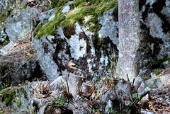 Håøya (kong niffe) Tags: geiter kanelboller håøya bokfink fringillacoelebs