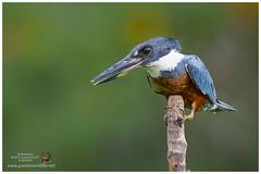 Ringed Kingfisher / Martín Pescador Grande (Panama Birds & Wildlife Photos) Tags: kingfisher kingfishers martínpescador martines pescadores martinespescadores martín pescador avesdepanama birdsofpanama bird aves wildlife