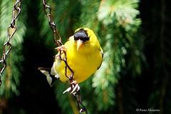 American Goldfinch, Male (Anne Ahearne) Tags: goldfinch yellow bird birds finch nature wildlife animal animals wild