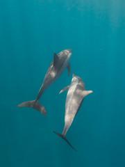 ... Spinner Dolphin (Stenella Longirostris) ...