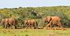Elefantes en fila