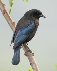 _MG_7330 - Bronzed cowbird (Perceptivist) Tags: usa animals birds bronzedcowbird places quiethill texas