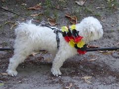 Patriotic dog (seikinsou) Tags: brussels belgium bruxelles belgique summer nationalday independenceday holiday publicholiday park parcroyal parcdebruxelles dog flag