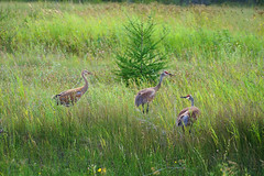Sandhill Crane (Valery_RW) Tags: sandhill crane manitoba canada 2017