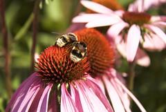 Twin bees (enchinea) (ToJoLa) Tags: 2017 canon canoneos60d rodezonnehoed bij bee twin pink flower bloem zomer summer macro makro enchinea