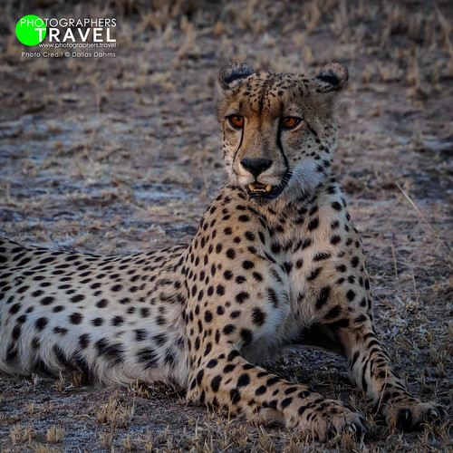 Cheetah - Sabi Sabi 2015