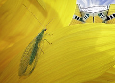 City Nature (kunstschieter) Tags: sunflower cubichouses chrysoperlacarnea goudoogje groenegaasvlieg rotterdam kubussen