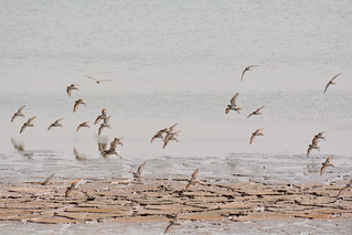 Semipalmated Sandpipers in flight_3397