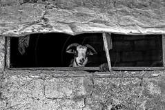 Γειάαααα...........!!! Hellooooooooo.......!!! (Dimitil) Tags: vasiliko goat animals village villagelife rural rurallife ruralscene pastoral country countrylife epirus pogoni corral humor funnyscene funny bw