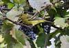 Chardonneret jaune - Goldfinch (Pierre♪ à ♪VanCouver) Tags: jardin vancouver americangoldfinch grapes raisins uva wasp guêpe avispa ぶど podo budo