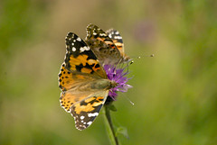 painted ladies (#christopher#) Tags: macro insect butterfly heathland paintedlady