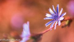 the roadside (frederic.gombert) Tags: flower flowers light color colored sun sunlight red pink blue plant macro flora wild nikon