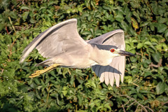 Black Crowned Night Heron (tresed47) Tags: 2017 201708aug 20170810newjerseybirds august birds blackcrownednightheron canon7d content folder heron newjersey peterscamera petersphotos places season summer takenby us