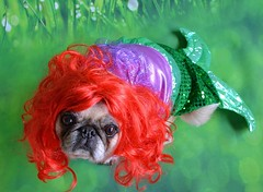 The seaweed is always greener, in somebody else's lake ♫ ♪ ♩ (DaPuglet) Tags: pug pugs dog dogs pet pets animal animals costume halloween mermaid littlemermaid ariel disney wig diva coth5 coth sunrays5 saariysqualitypictures