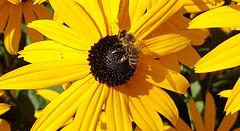 Gele zonnehoed (Meino NL) Tags: zonnehoed rudbeckiafulgida gelezonnehoed echinaceaparadoxa bloem vasteplant plant