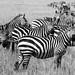 Staring Zebras